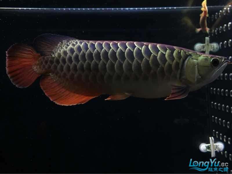 小伙伴们最近壮些了! 西宁观赏鱼 西宁龙鱼第10张