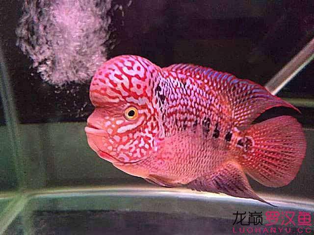 昆明斑马鱼怎么养殖又见极品,对你爱爱爱不完!