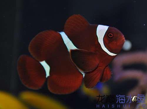MaroonClownfish.jpg