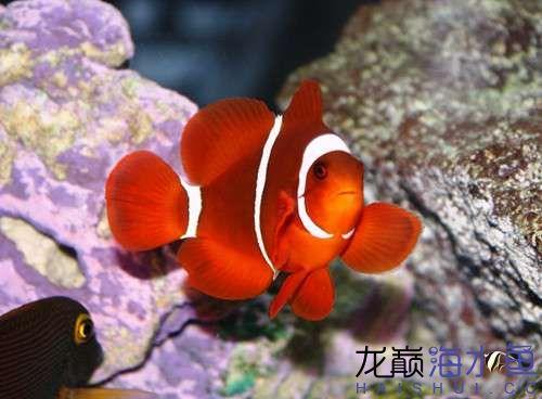 50430f40d35f3Maroon_Clownfish.jpg