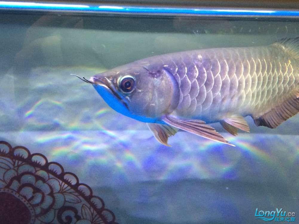 小龙眼睛昆明黑桃a鱼的寿命多少年该怎样治疗,大龙品质求鉴定