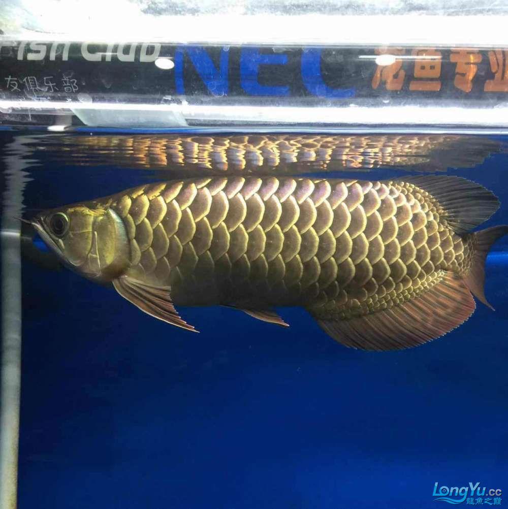 小过背几个月的变化 宜宾水族批发市场 宜宾龙鱼第11张