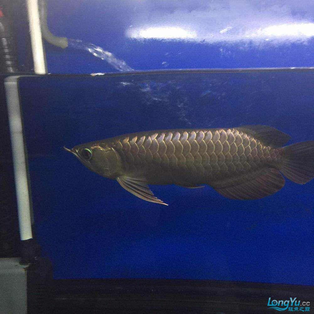小过背几个月的变化 宜宾水族批发市场 宜宾龙鱼第4张
