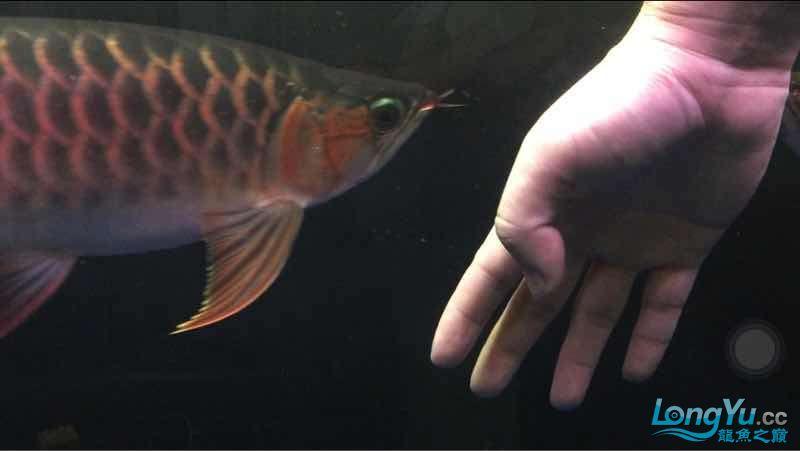玩鱼这样才刺激 宜宾龙鱼论坛 宜宾龙鱼第2张