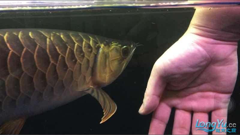 玩鱼这样才刺激 宜宾龙鱼论坛 宜宾龙鱼第5张