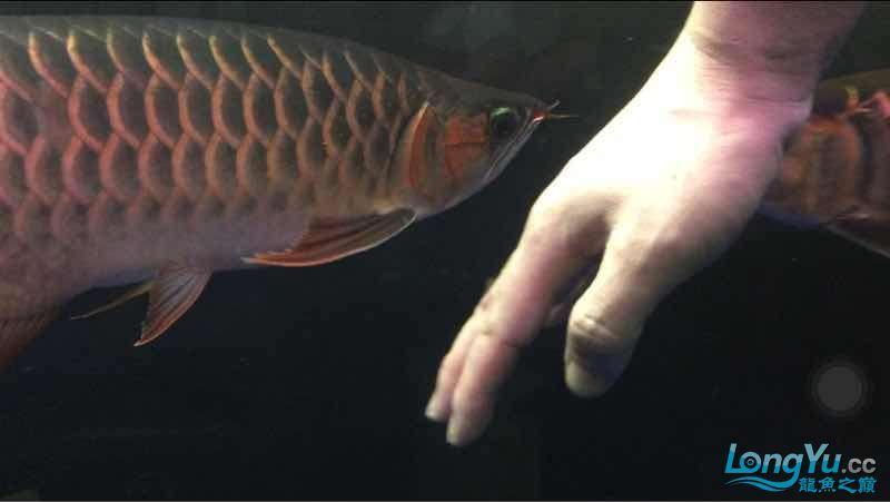 玩鱼这样才刺激 宜宾龙鱼论坛 宜宾龙鱼第6张
