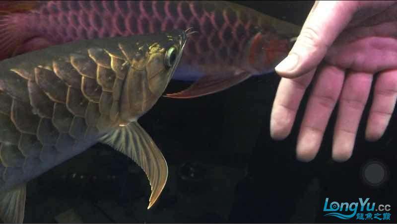 玩鱼这样才刺激 宜宾龙鱼论坛 宜宾龙鱼第7张