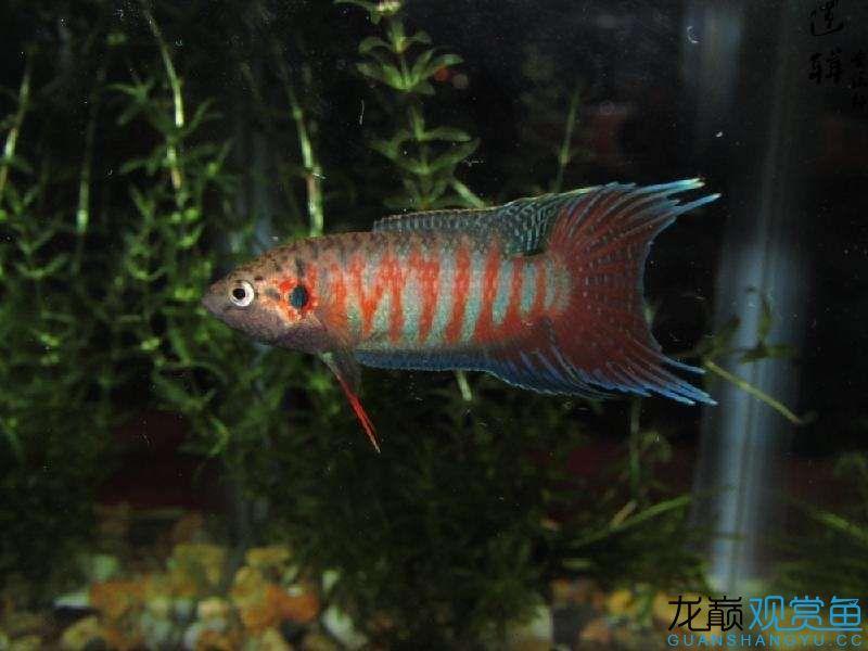 远方宜宾热带雨林的家 宜宾水族批发市场 宜宾龙鱼第3张