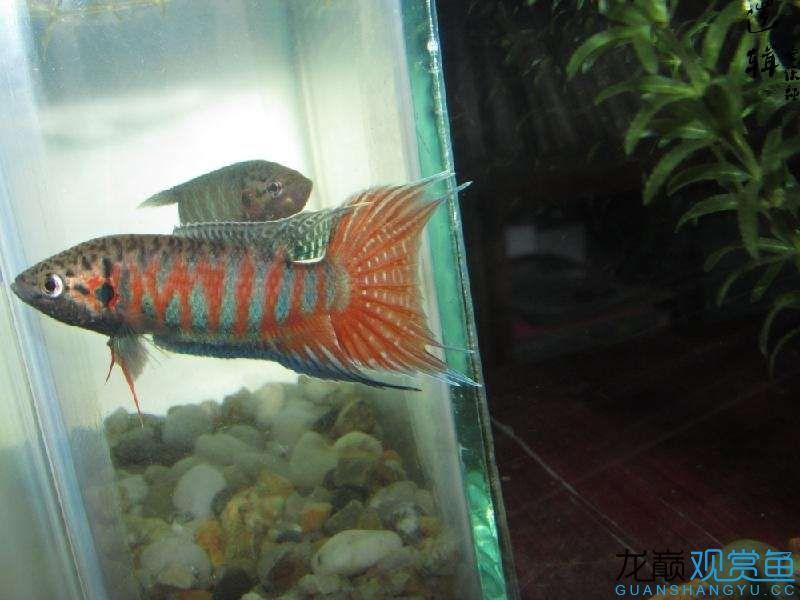 远方宜宾热带雨林的家 宜宾水族批发市场 宜宾龙鱼第9张
