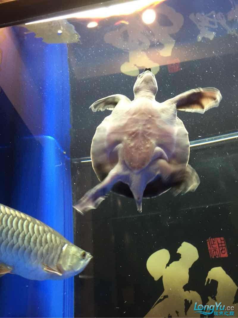 帮看看小猪鼻 宜宾水族批发市场 宜宾龙鱼第2张