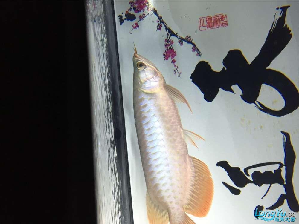 宜宾大花恐龙鱼晒晒红龙在N灯下的成长日记 宜宾龙鱼论坛 宜宾龙鱼第20张