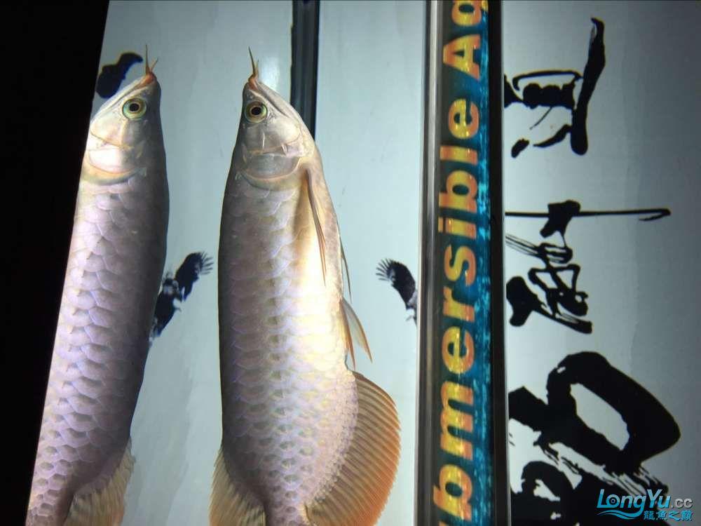 宜宾大花恐龙鱼晒晒红龙在N灯下的成长日记 宜宾龙鱼论坛 宜宾龙鱼第21张