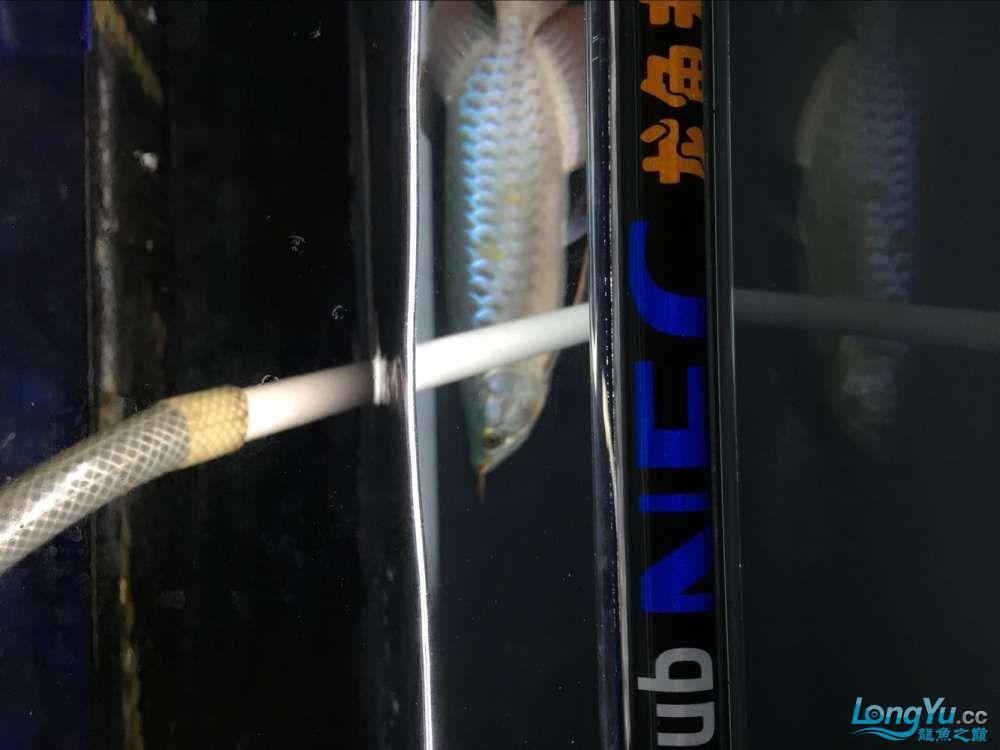 宜宾大花恐龙鱼晒晒红龙在N灯下的成长日记 宜宾龙鱼论坛 宜宾龙鱼第5张