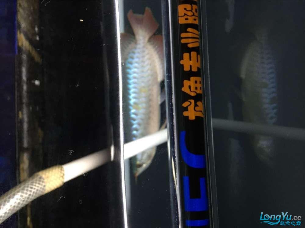 宜宾大花恐龙鱼晒晒红龙在N灯下的成长日记 宜宾龙鱼论坛 宜宾龙鱼第6张