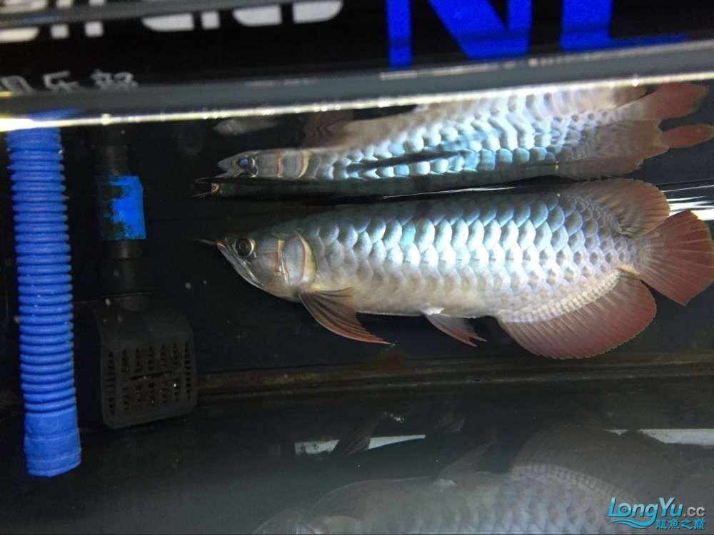 宜宾大花恐龙鱼晒晒红龙在N灯下的成长日记 宜宾龙鱼论坛 宜宾龙鱼第7张