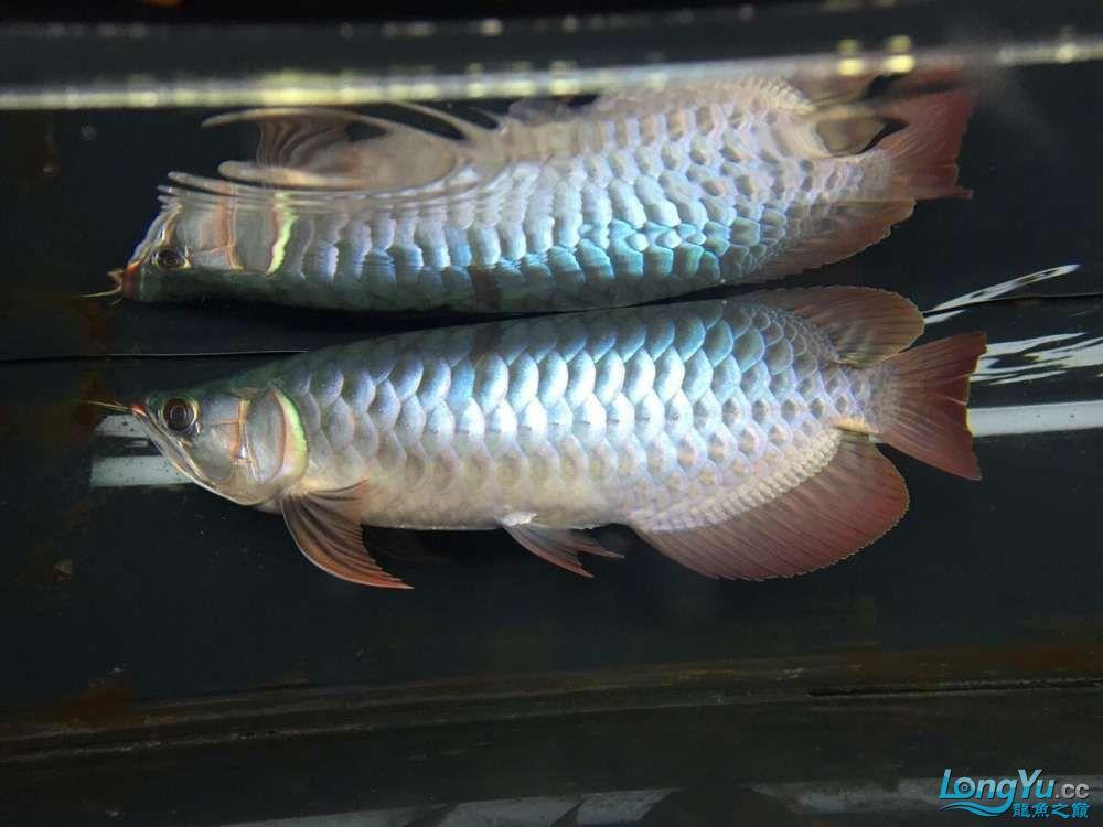 宜宾大花恐龙鱼晒晒红龙在N灯下的成长日记 宜宾龙鱼论坛 宜宾龙鱼第8张