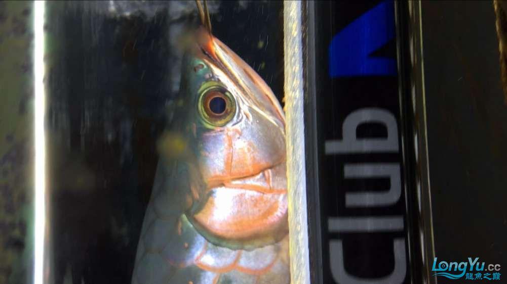 宜宾大花恐龙鱼晒晒红龙在N灯下的成长日记 宜宾龙鱼论坛 宜宾龙鱼第11张