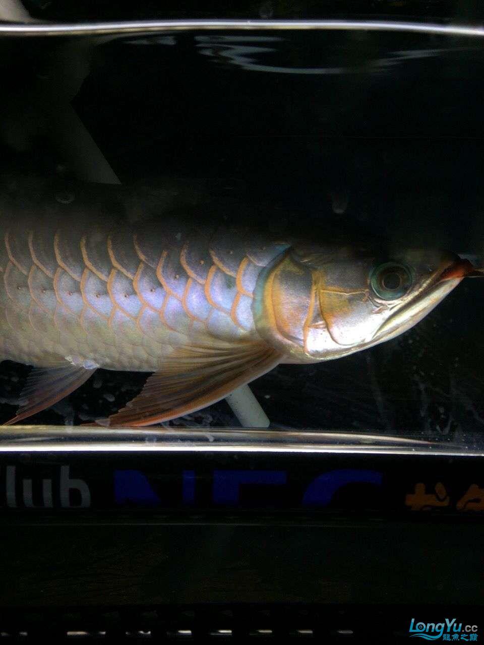 宜宾大花恐龙鱼晒晒红龙在N灯下的成长日记 宜宾龙鱼论坛 宜宾龙鱼第12张