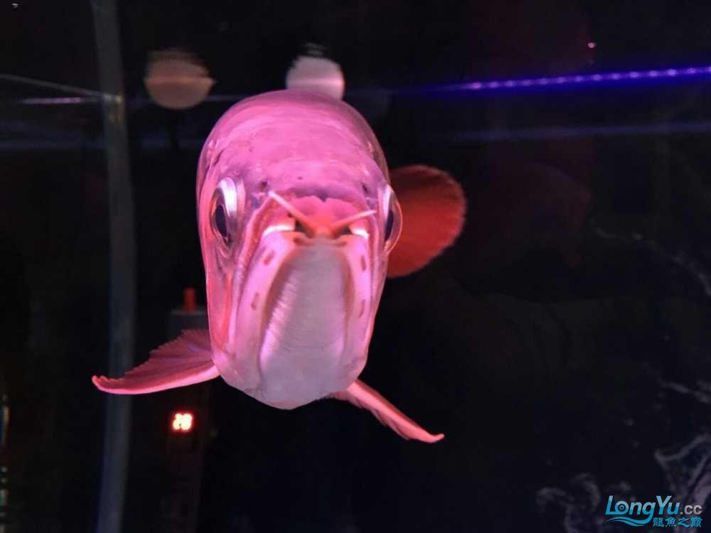 【畅樂水族一将爱定格】感觉爱人对我的支持 宜宾龙鱼论坛 宜宾龙鱼第2张