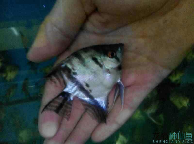 杂交亲武汉蝙蝠鲳鱼的选择