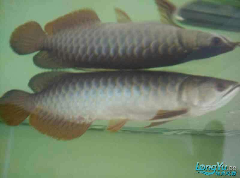 宜宾虎鱼20厘米了,自然光线下! 宜宾水族批发市场 宜宾龙鱼第7张