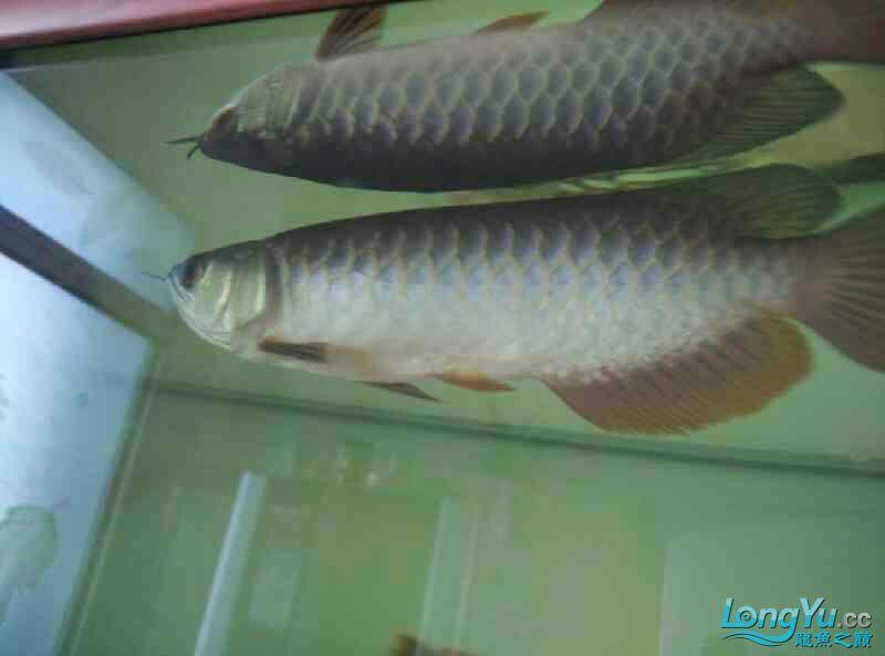 宜宾虎鱼20厘米了,自然光线下! 宜宾水族批发市场 宜宾龙鱼第5张