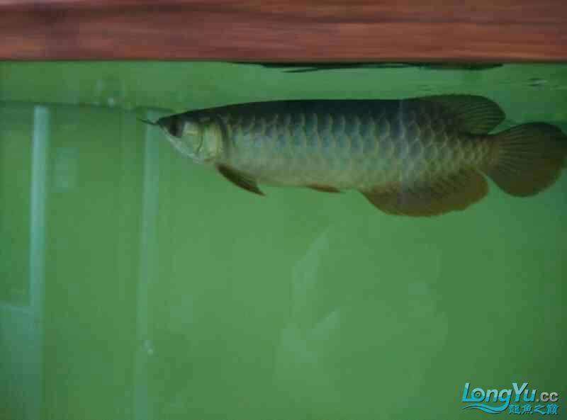 宜宾虎鱼20厘米了,自然光线下! 宜宾水族批发市场 宜宾龙鱼第4张