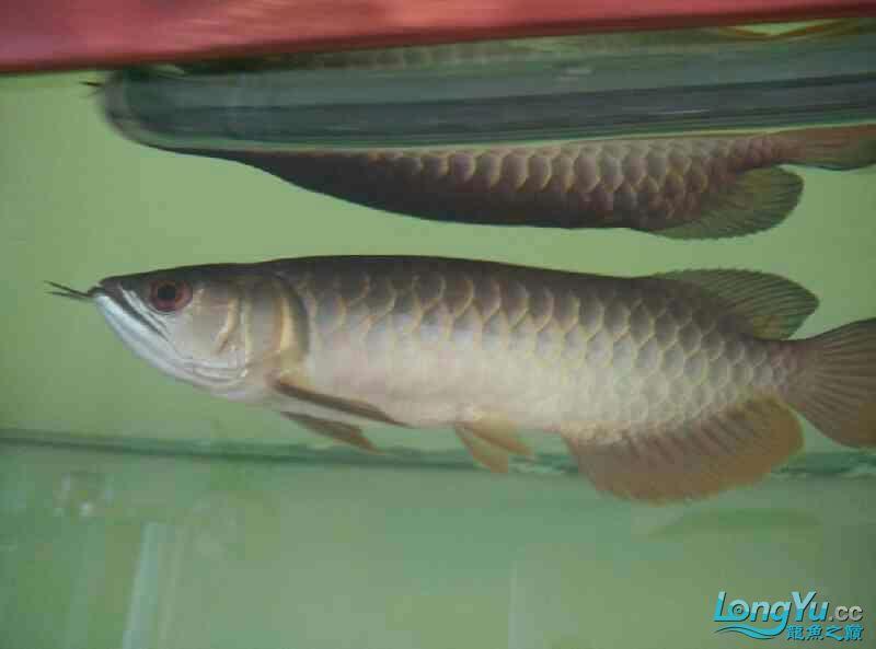 宜宾虎鱼20厘米了,自然光线下! 宜宾水族批发市场 宜宾龙鱼第2张