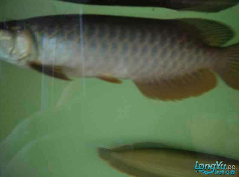 宜宾虎鱼20厘米了,自然光线下! 宜宾水族批发市场 宜宾龙鱼第1张