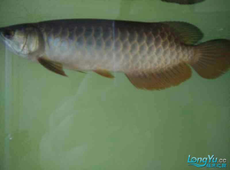 宜宾虎鱼20厘米了,自然光线下! 宜宾水族批发市场 宜宾龙鱼第6张