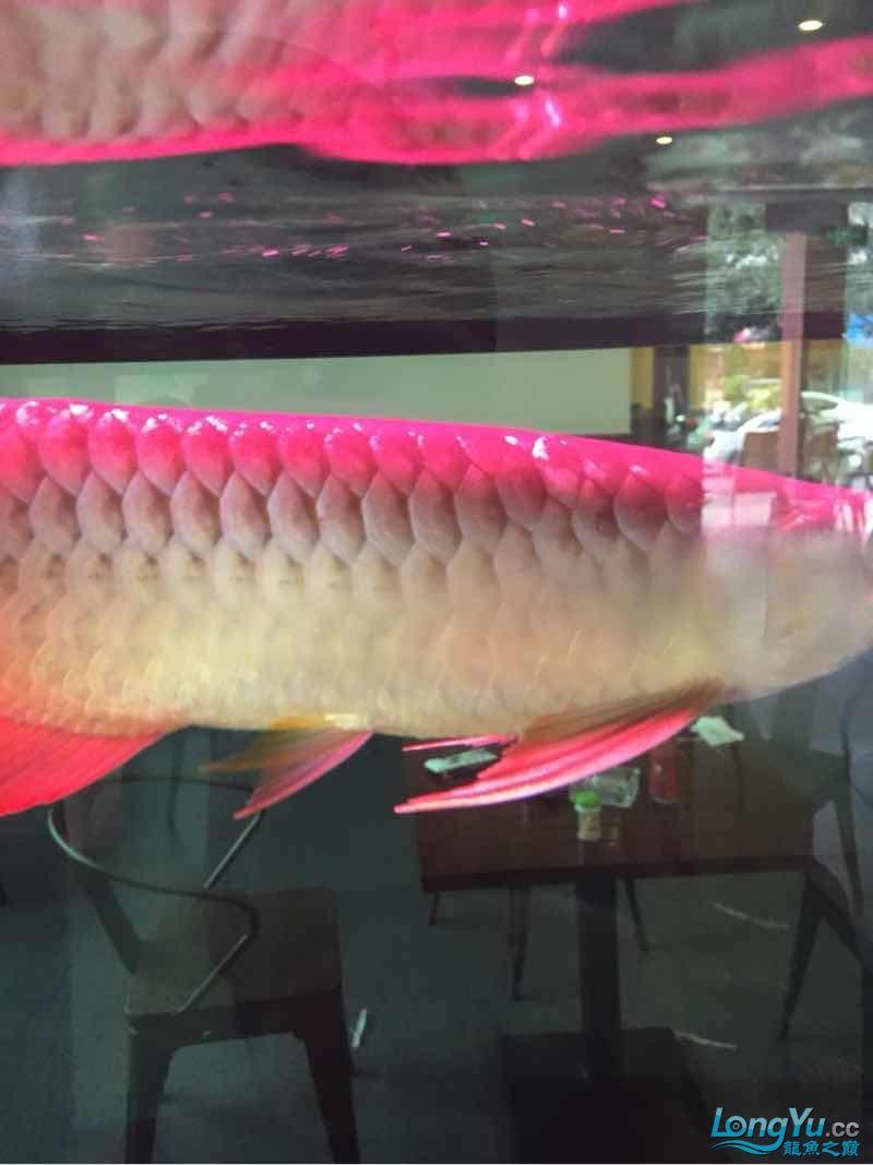 看看有没有前途 宜宾水族批发市场 宜宾龙鱼第2张