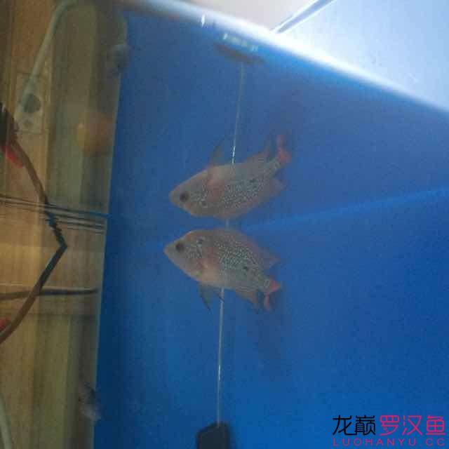 新请鱼苗,拍照留念。2.20日 南昌龙鱼论坛 南昌龙鱼第13张