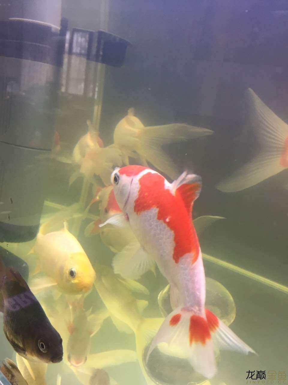 这张是换滴流过滤之前的 鱼身上有白点凸起物 请问是什么毛病 怎么治疗呢