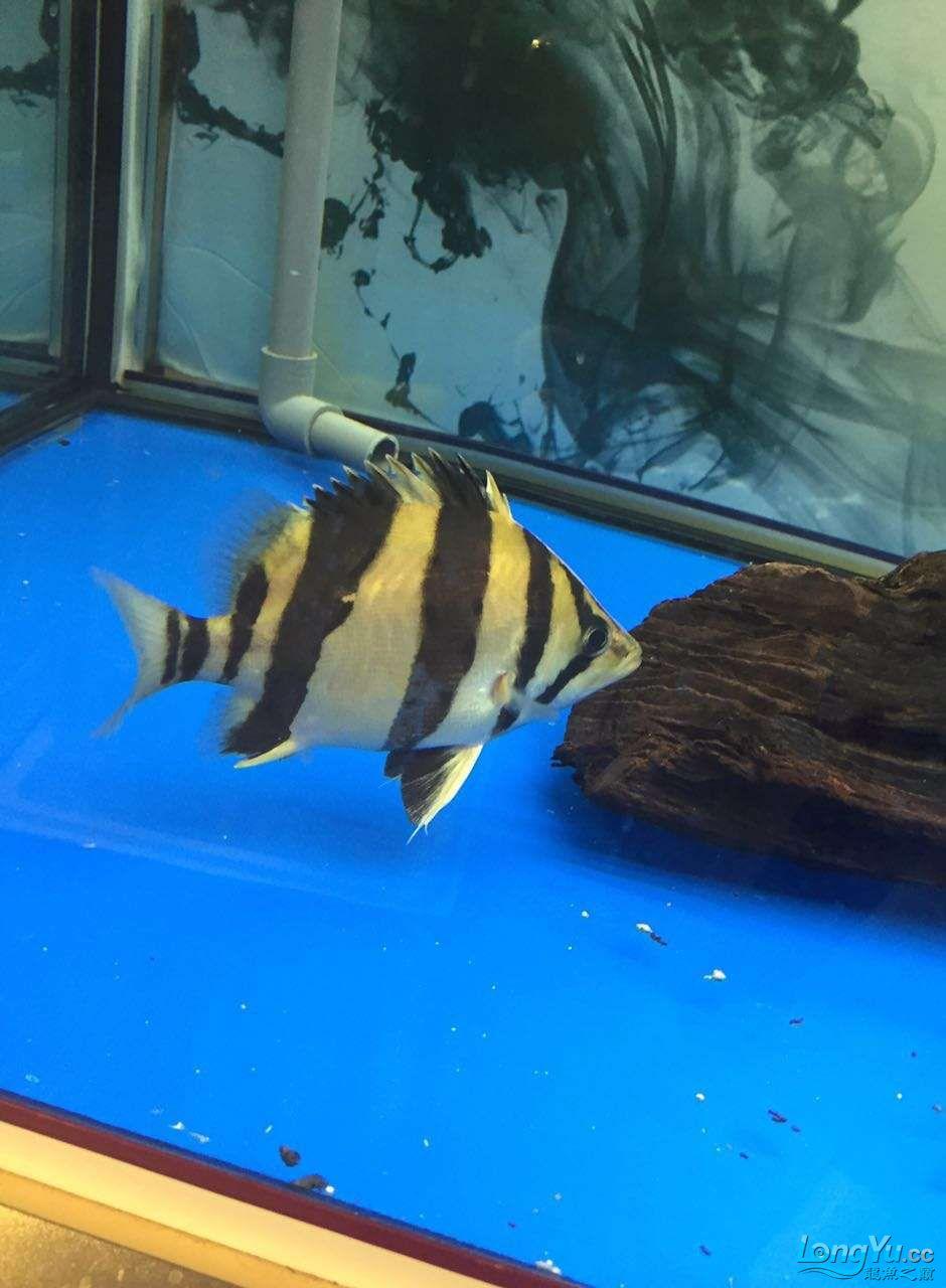 高手给看看这条印尼 哈尔滨龙鱼论坛 哈尔滨龙鱼第1张