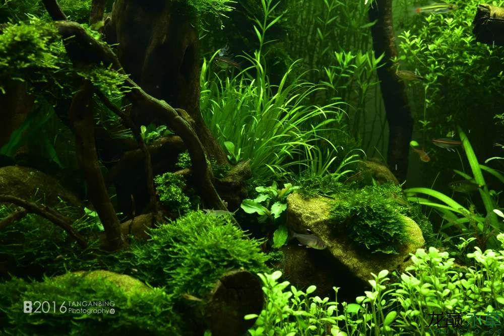 《绿野丛林》3个月 水草局部