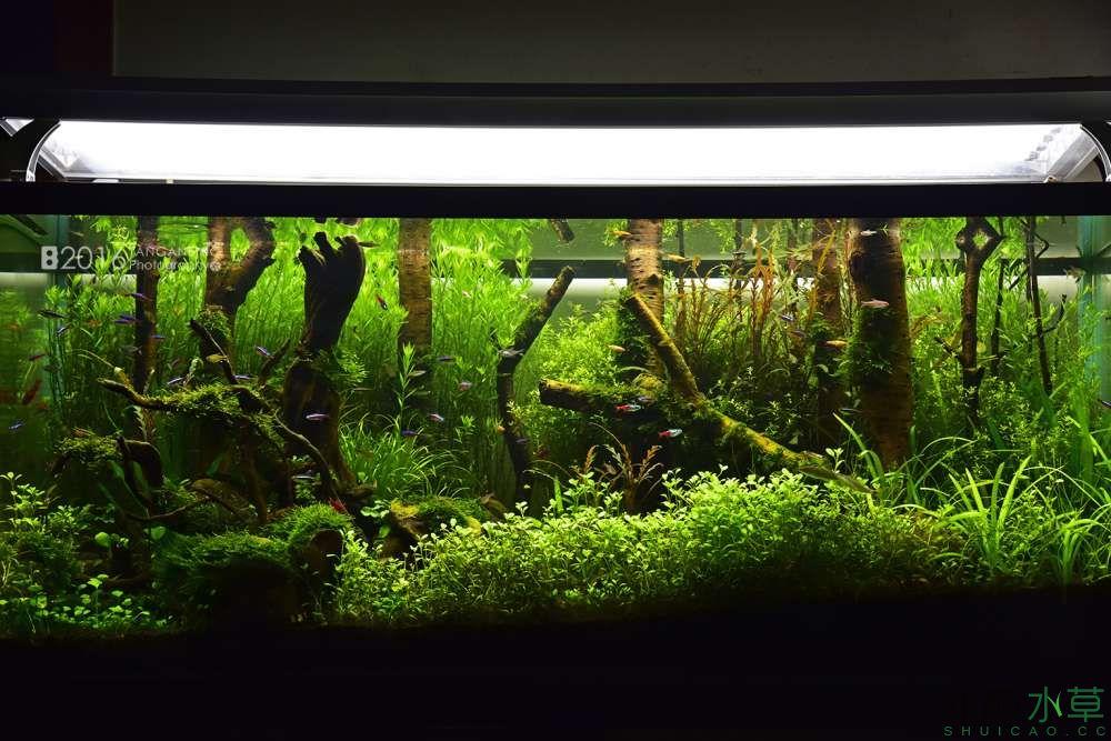 《绿野丛林》3个月 水草全景