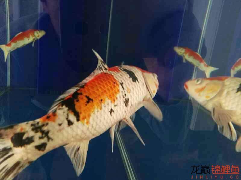 不过水的结果鱼病了 温州龙鱼论坛 温州龙鱼第2张