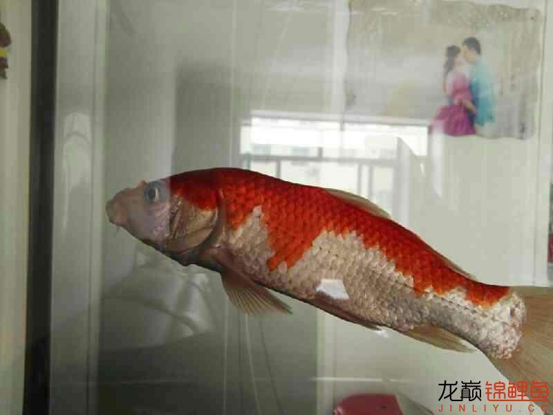 不过水的结果鱼病了 温州龙鱼论坛 温州龙鱼第3张