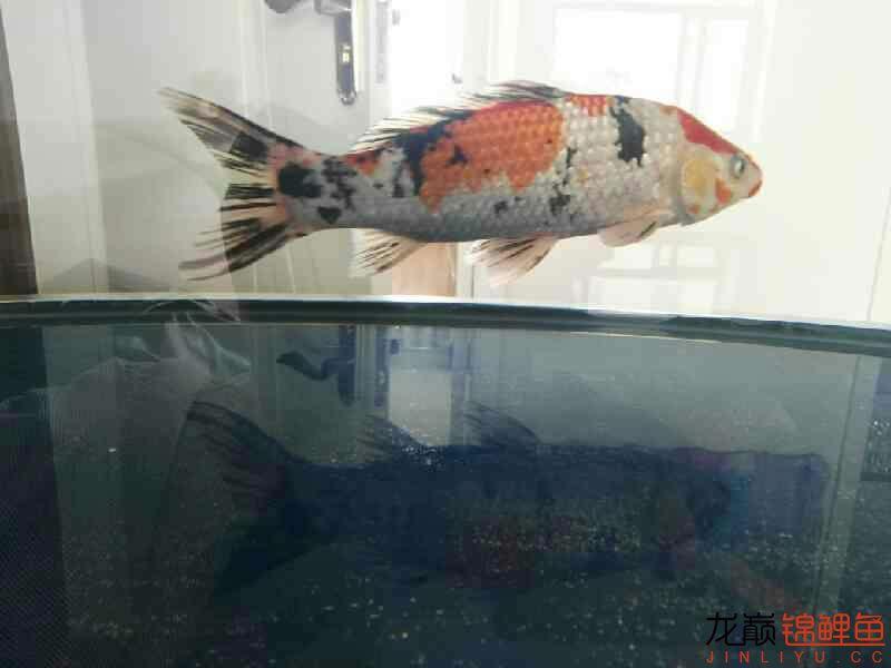 不过水的结果鱼病了 温州龙鱼论坛 温州龙鱼第4张