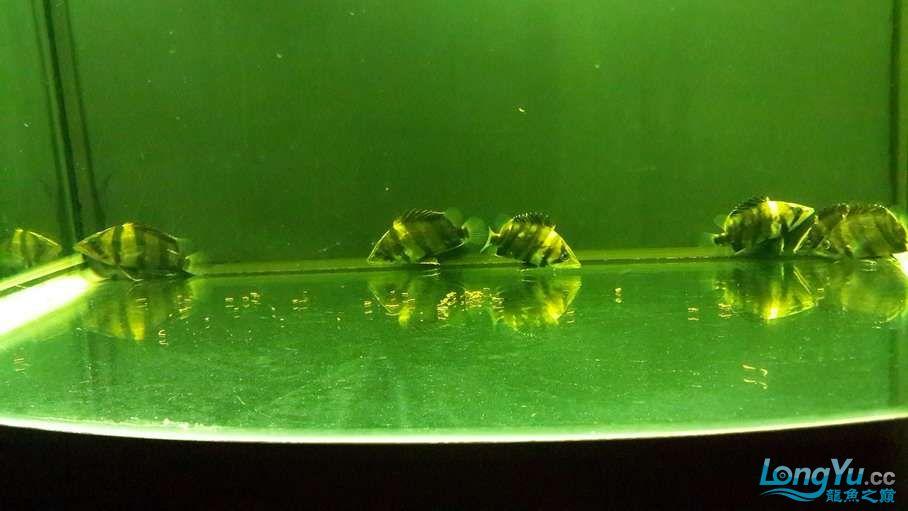 发下自己的小虎 吉林龙鱼论坛 吉林龙鱼第5张