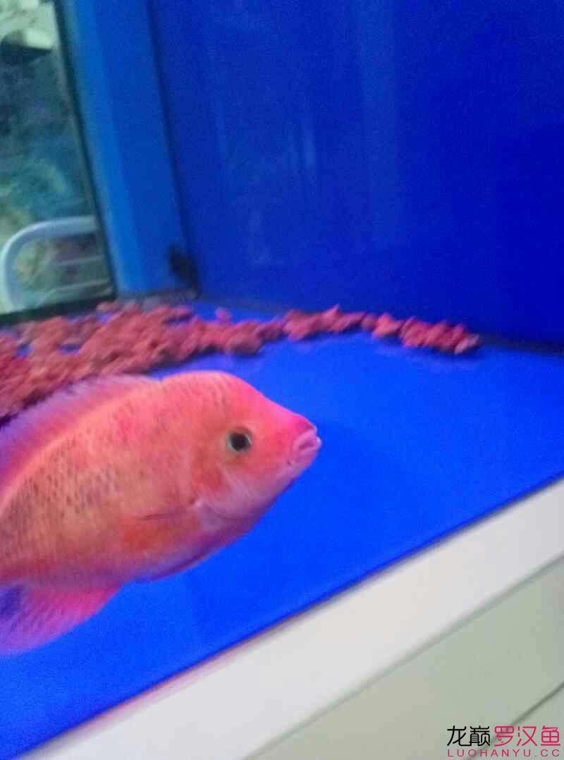 红马第十一天 西安观赏鱼信息 西安博特第3张