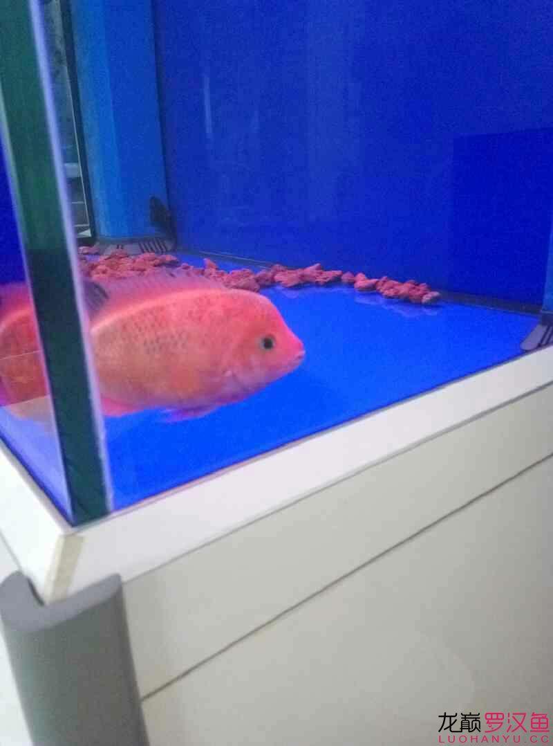 红马第十一天 西安观赏鱼信息 西安博特第4张
