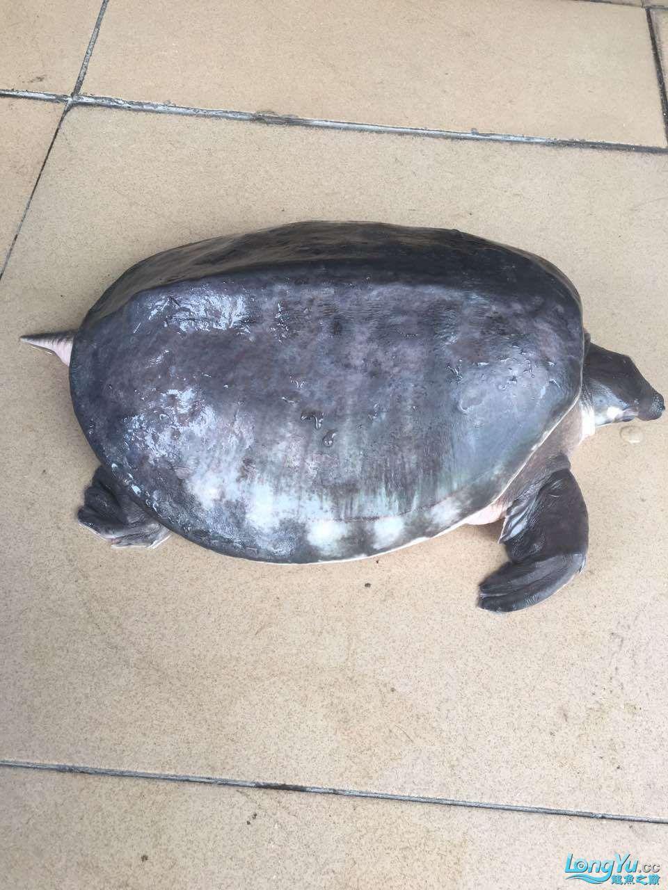 家有猪鼻龟一只,5KG,身长40CM