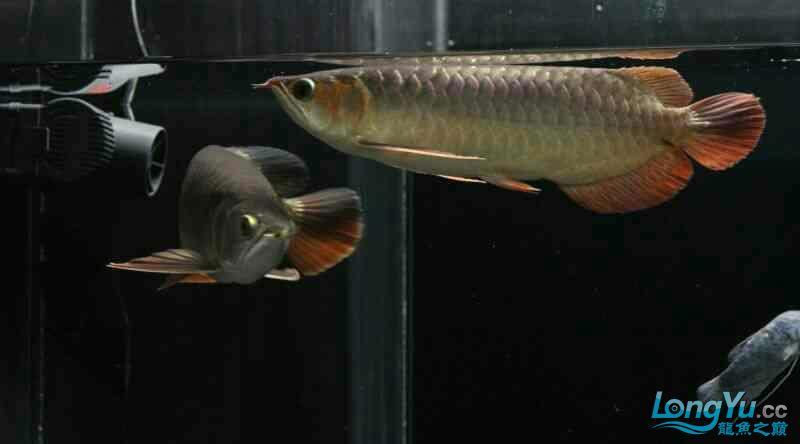 西安金龙咖喱金银红混养 西安水族批发市场 西安龙鱼第2张