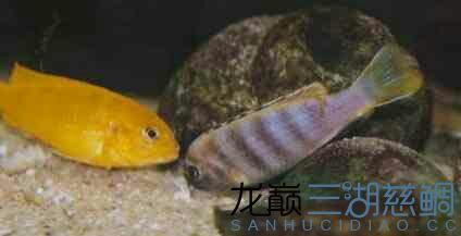 漂亮的索罗斯岩栖 昆明水族批发市场 昆明龙鱼第2张