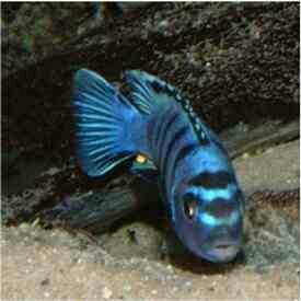 漂亮的索罗斯岩栖 昆明水族批发市场 昆明龙鱼第6张