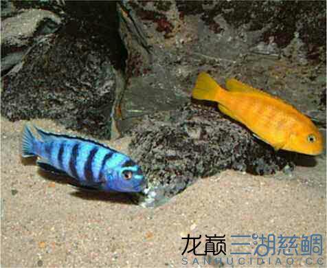 漂亮的索罗斯岩栖 昆明水族批发市场 昆明龙鱼第5张