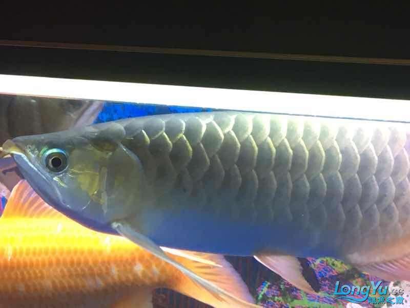 求大神这鱼究竟是什么品种 榆林龙鱼论坛 榆林水族批发市场第1张