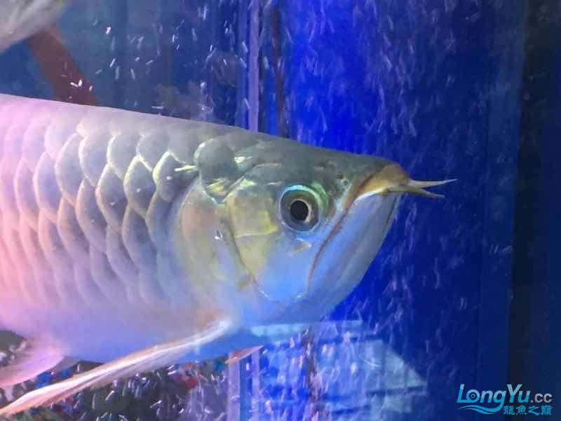 求大神这鱼究竟是什么品种 榆林龙鱼论坛 榆林水族批发市场第2张