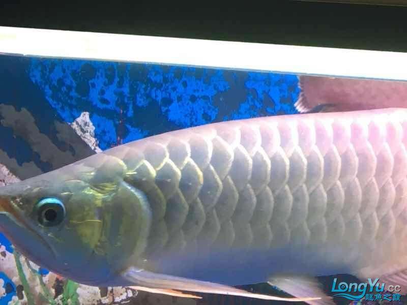 求大神这鱼究竟是什么品种 榆林龙鱼论坛 榆林水族批发市场第4张